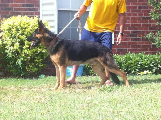 German Shepherd Dog - Chief - Large - Young - Male - Dog