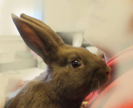 Mini Rex - Henry - Small - Young - Male - Rabbit