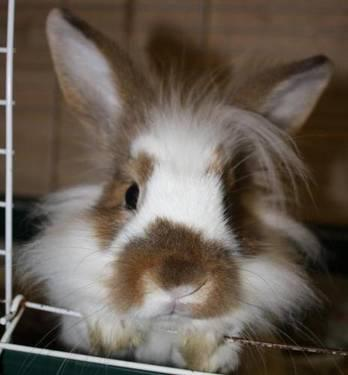 Angora Rabbit - Domino - Small - Young - Male - Rabbit