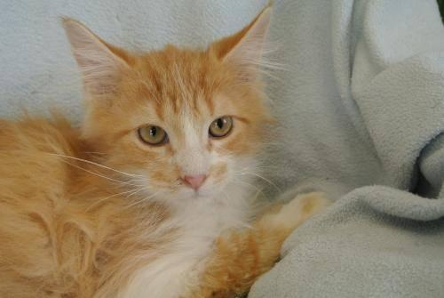 Domestic Long Hair - Orange and white - Zaidin - Medium - Young