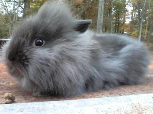 Purebred-Lionhead -rabbits