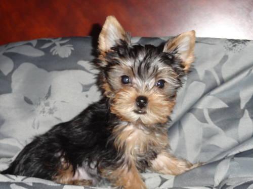 Registered Yorkie Puppy - 10 Weeks Old