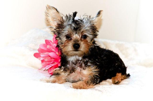 ADORABLE YORKIE PUPPY - 10 WEEKS OLD