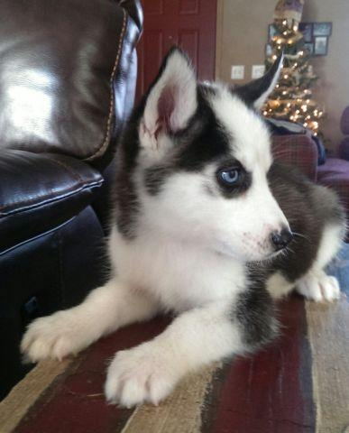 Adorable Husky puppies~ 10 weeks old