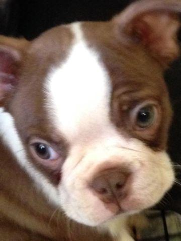 Cute CKC Boston Terrier 12 weeks old