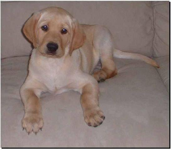 AKC black labrador Puppies 13 weeks old