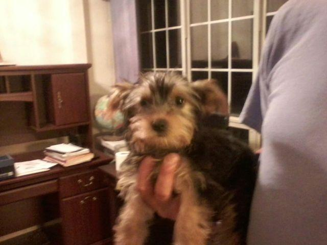 AKC Yorkshire Terrier Puppy 13 weeks old Female