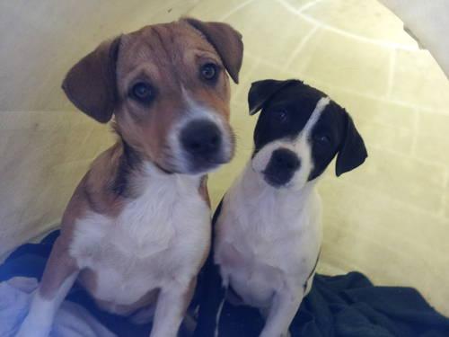 Lab/Pitbull Hybrid Puppies - 16 weeks old