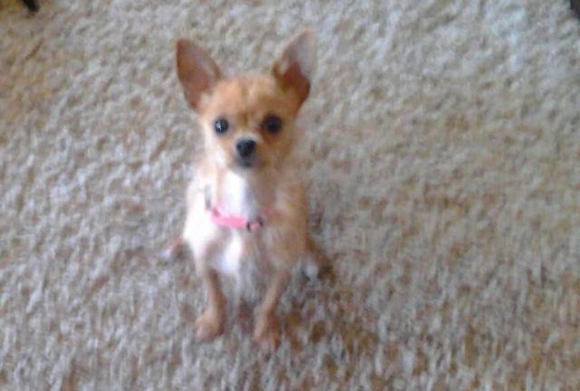 Westhighland Terrier / Maltese.. Female.. 1 1/2 yrs old.. ears up