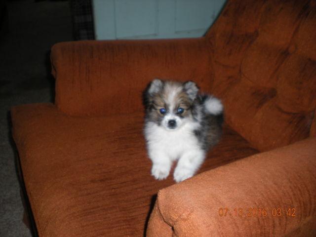 Willie, playful 3/4 shelty 1/4 pomeranian puppy