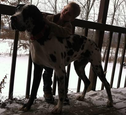 AKC Great Dane 1 year old