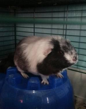 4 baby guinea pigs and 1 young female available