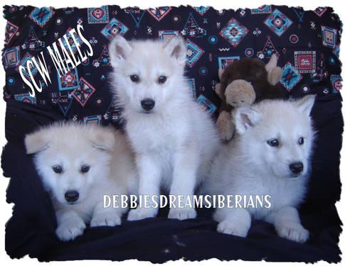 WOLFHYBRID PUPPIES $200 off