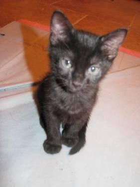Domestic Short Hair - Black - 4paws 2041 Ebony - Medium - Adult