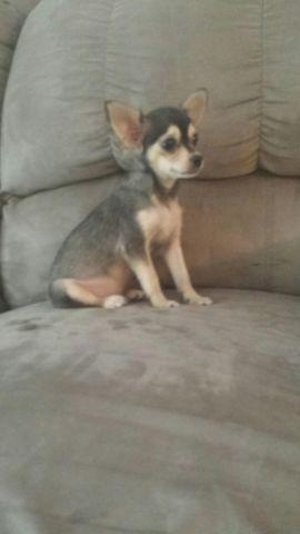 Chihuahua 2/27/14