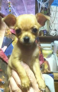 Chihuahua puppies 2 males