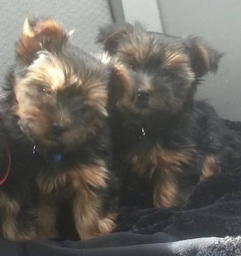 Female Purebred Silky Terrier Puppies (2 Months Old) ($800/each)