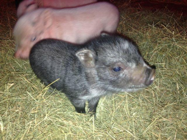 Charming Little Pigs 2 weeks old