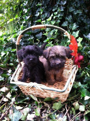 Adorable Yorkie-Poo puppies, $300, Personality-Plus! for