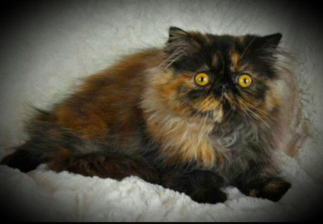 PUREBRED TORTIE PERSIAN FEMALE KITTEN 375 11 WEEKS READY NOW