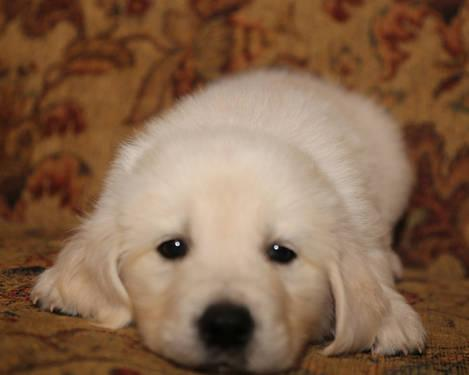 Golden Retriever Puppies AKC ~ 3/4 English Cream