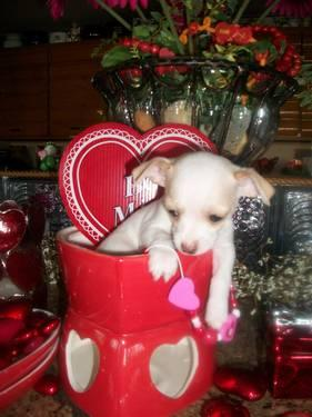 5 teacup Chihuahua CKC 3 Girls 2 boys