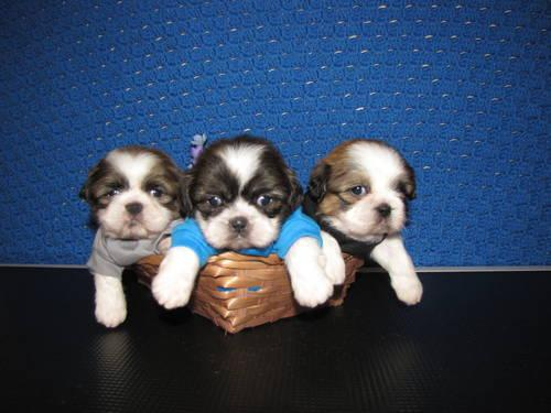 GORGEOUS SHIH-TZUS!!! 3 LEFT