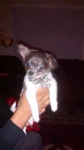 cute AKC Chihuahua 3 months