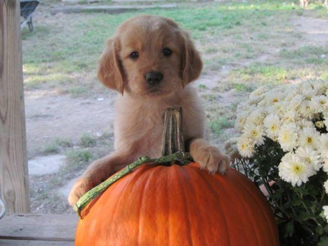 AKC GOLDEN RETRIEVER Puppies gorgeous !! <3 planning a spring litter