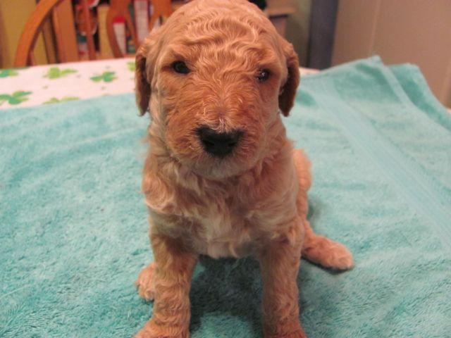 ISO AKC full reg poodle pup 4-6 LBs must be parti (red,black,choc)