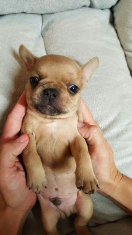 2 Super Cute Male Faux Frenchies- $400 Deposit - 4 weeks old