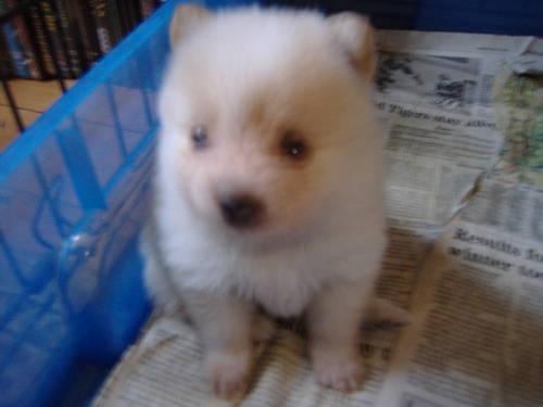 POMERANIAN PUPPIES CREAM & WHITE 4 FEMALES DRA REG