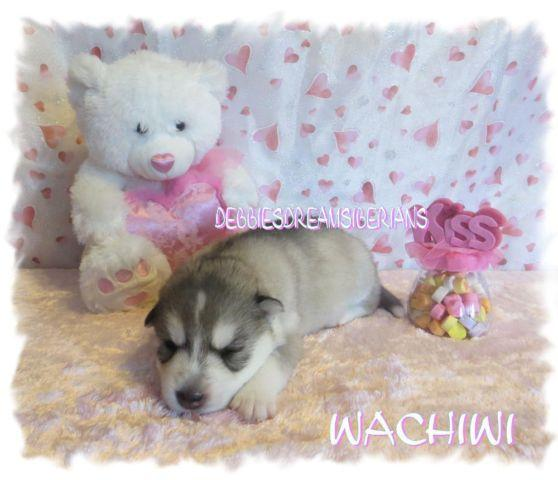 AKC Tasha 4 girls