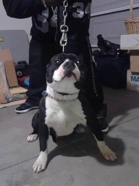 ukc bully male 4 sale