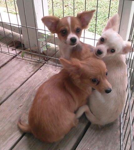 Beautiful Longhair Chihuahua Females- 5 Months on Oct.1