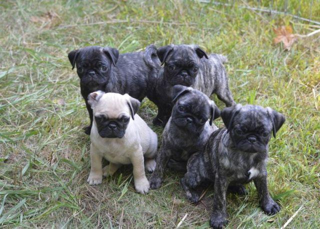 Pug Puppies $600