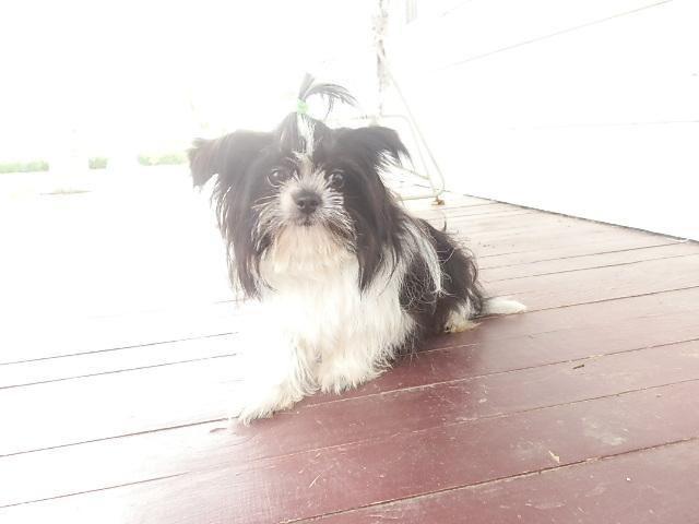 ~~~SHIH-TZU Puppy, 7 months, $600 or best offer
