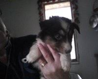 so cute papillon puppie 6 month old