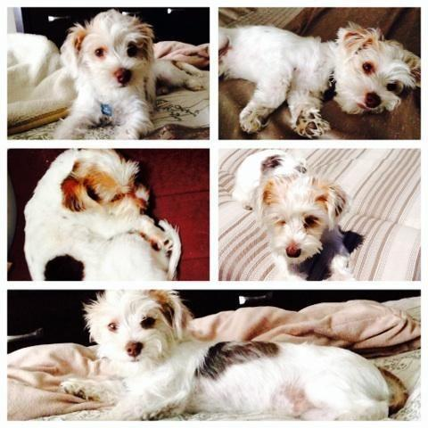 Cute Yorkshire Terrier Puppie 6 months Old