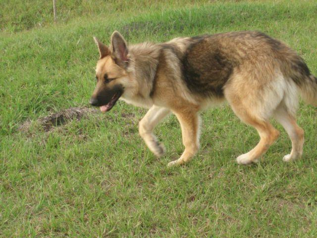 AKC German Shepherd - 6 Months Old