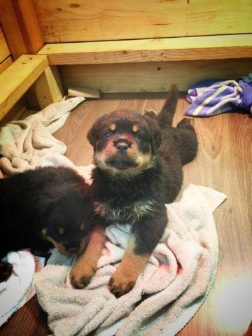 Rottweiler puppies almost 6 weeks for Sale in Fremont, California