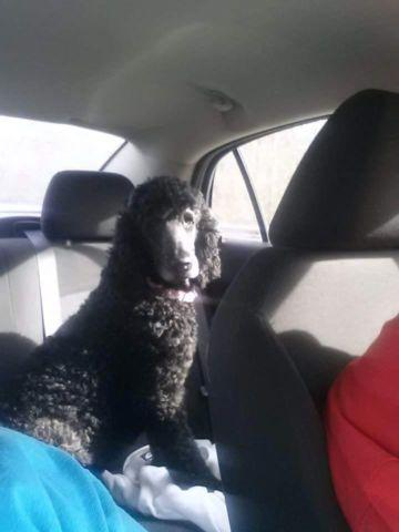 Beautiful standard poodle 6 yrs old