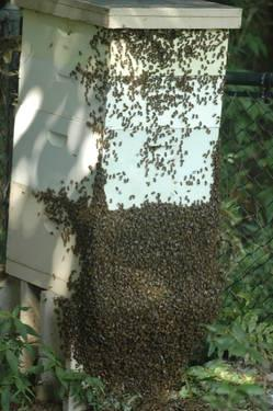HONEY BEE HIVES 75.00 EACH