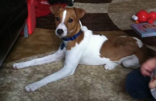 Jack Russell Terrier Male 7 month old