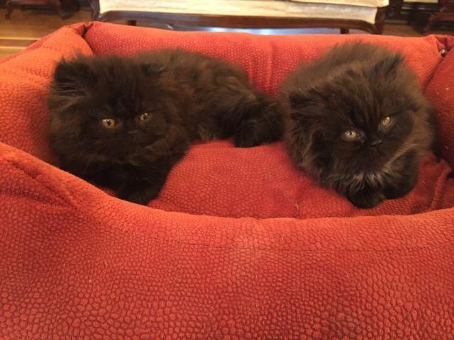 Persian longhair kittens - 8 1/2 weeks