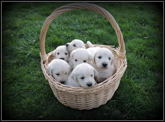 Golden Retriever Puppy- 8 weeks for Sale in Beaverton