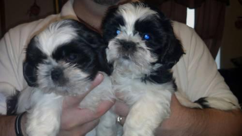Shorkie Puppies Yorkieshih Tzu Mix 8 Weeks Old For Sale In