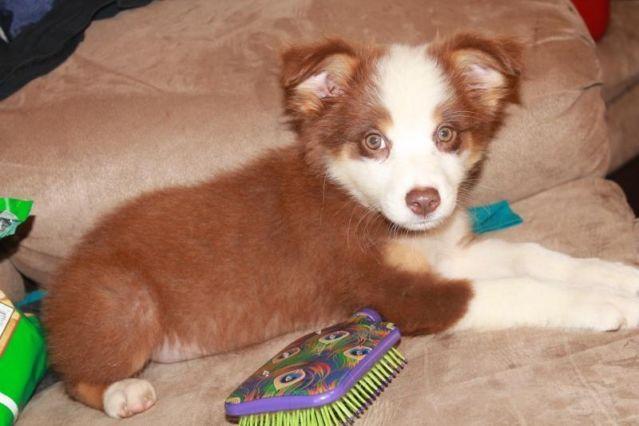 AKC Australian Shepherd Puppies (Aussies) / 8 weeks old for Sale in