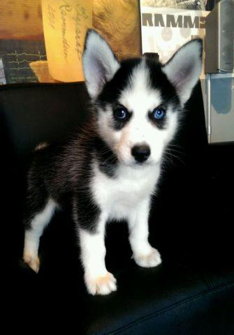 Adorable Husky puppies~ 8 weeks old