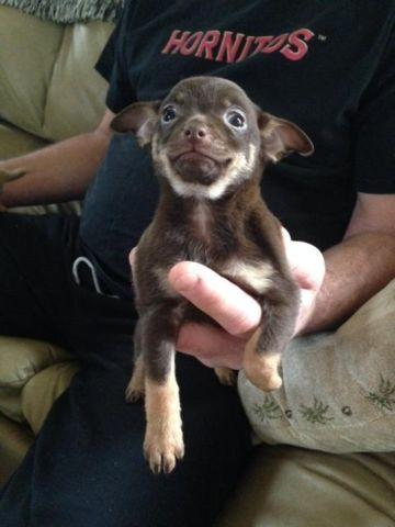 Female Chihuahua puppy 8 weeks old